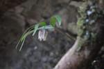 アワコバイモ 葉が緑色